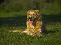 Retriever dourado feliz e sedento Foto de Stock