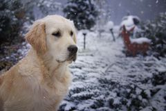 Retriever dourado na neve imagens de stock