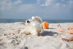 Retriever dourado na praia Imagens de Stock