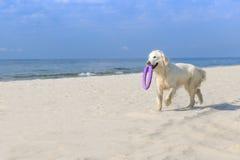Retriever dourado na praia Imagem de Stock Royalty Free