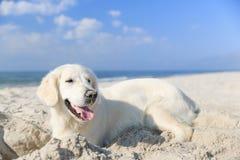 Retriever dourado na praia Imagem de Stock