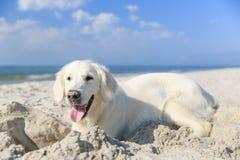 Retriever dourado na praia Fotografia de Stock Royalty Free