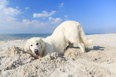 Retriever dourado na praia Foto de Stock