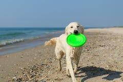 Retriever dourado na praia Imagens de Stock Royalty Free