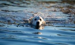 Retriever dourado no rio Imagem de Stock