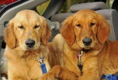 Retriever dourado Puppys Imagens de Stock Royalty Free