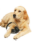 Retriever with  ear-phones. Dogs and cats in the most different situations and positions Royalty Free Stock Photo