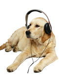 Retriever with ear-phones. Dogs and cats in the most different situations and positions Stock Images
