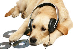 Retriever with ear-phones. Stock Photo