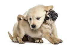 Retriever en pug puppy die geïsoleerd, samen spelen stock foto