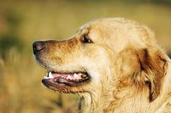 retriever för hundlabrador stående Arkivbilder