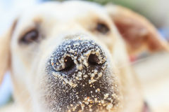 Retriever face, outdoor portrait on natural background Stock Photos