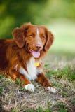 Retriever feliz do cão Fotos de Stock Royalty Free
