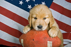 Retriever on football Royalty Free Stock Photos