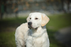 Retriever Royalty Free Stock Images