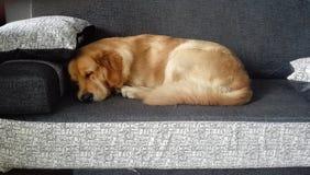 Retriever Golder ύπνος στον γκρίζο καναπέ στοκ εικόνες