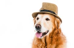 Retriever in hat Royalty Free Stock Photo
