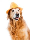 Retriever in hat Royalty Free Stock Photos