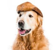 Retriever in hat Royalty Free Stock Images