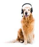 Retriever with headset Stock Photos