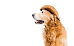 Retriever in hoed Stock Foto