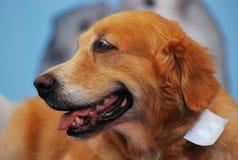 Retriever-Hund Lizenzfreie Stockfotografie