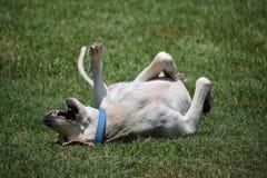retriever labrador собаки Стоковое Фото