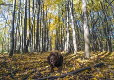 Retriever labrador шоколада лежит в лесе стоковое изображение rf