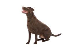 retriever labrador шоколада Стоковые Изображения RF