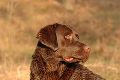 retriever labrador Стоковые Фото