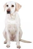 retriever labrador Стоковые Изображения