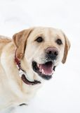 Retriever labrador dog in winter Royalty Free Stock Image
