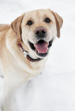 Retriever labrador dog in winter Royalty Free Stock Photography