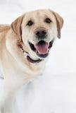 Retriever labrador dog in winter Royalty Free Stock Photography