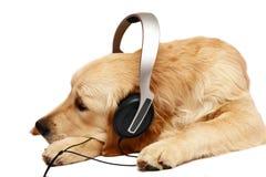 Retriever met oortelefoons. Stock Afbeeldingen