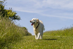 Retriever pet dog loving life on walk Stock Image