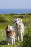 Retriever pet dog meeting a new friend Stock Photography