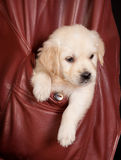 Retriever in a pocket. Six weeks old golden retriever puppy in a coat pocket Stock Photography