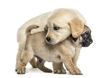 Retriever and pug puppies playing together,. On white Stock Images