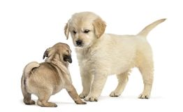 Retriever and pug puppies playing together,. On white Royalty Free Stock Image