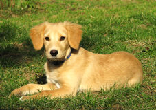 Retriever puppy. Posing in park stock photo