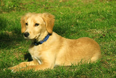 Retriever puppy. Posing in park royalty free stock images