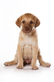 Retriever puppy Stock Images