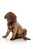 Retriever puppy Stock Photography
