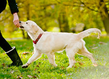 Retriever puppy Royalty Free Stock Photography
