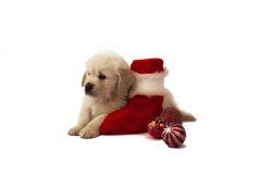 Retriever puppy isolated with christmas toys Royalty Free Stock Photo