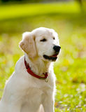 Retriever puppy Royalty Free Stock Image