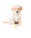 Retriever Puppy Sitting. A cute 2 month old golden retriever puppy sits at attention with a green tennis ball in front of her Stock Photography