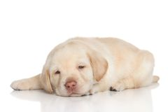 Retriever puppy sleep. Golden retriever puppy sleep on a white background Stock Photography