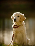 Retriever puppy Royalty Free Stock Photo